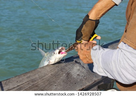 Catfish, scientific name Siluriformes, being released from hook by fisherman with needle nose pliers. Catfish have barbels, resembling a cat's whiskers, housing taste buds and used to search for food. #1426928507