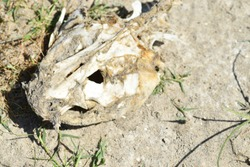 Catfish skull on sandy beach.