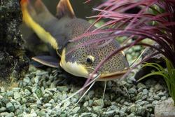 Catfish swims among the algae in the aquarium, Underwater photo