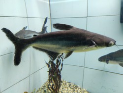 Catfishes are a diverse group of ray-finned fish.