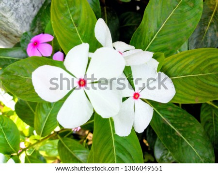Catharanthus roseus, commonly known as the Madagascar periwinkle, rose periwinkle, or rosy periwinkle, is a species of flowering plant in the dogbane family Apocynaceae. #1306049551