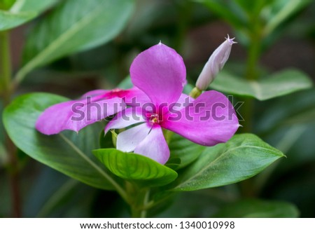 Catharanthus roseus, commonly known as the Madagascar periwinkle, rose periwinkle, or rosy periwinkle, is a species of flowering plant .... #1340010998
