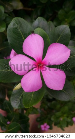 Catharanthus roseus, commonly known as the Madagascar periwinkle, rose periwinkle, or rosy periwinkle, is a species of flowering plant in the dogbane family Apocynaceae. #1346734823