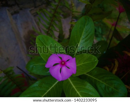 Catharanthus roseus, commonly known as the Madagascar periwinkle, rose periwinkle, or rosy periwinkle, is a species of flowering plant in the dogbane family Apocynaceae. #1402233095
