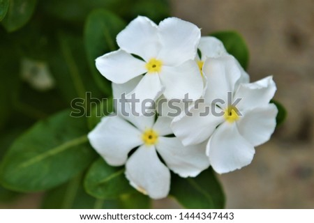 Catharanthus roseus,commonly known as the Madagascar periwinkle, rose periwinkle, or rosy periwinkle. It is an ornamental and medicinal plant. It is also known as Nayantara in West Bengal & Bangladesh #1444347443