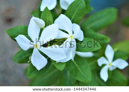 Catharanthus roseus,commonly known as the Madagascar periwinkle, rose periwinkle, or rosy periwinkle. It is an ornamental and medicinal plant. It is also known as Nayantara in West Bengal & Bangladesh #1444347446