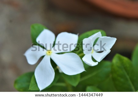 Catharanthus roseus,commonly known as the Madagascar periwinkle, rose periwinkle, or rosy periwinkle. It is an ornamental and medicinal plant. It is also known as Nayantara in West Bengal & Bangladesh #1444347449