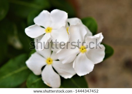 Catharanthus roseus,commonly known as the Madagascar periwinkle, rose periwinkle, or rosy periwinkle. It is an ornamental and medicinal plant. It is also known as Nayantara in West Bengal & Bangladesh #1444347452