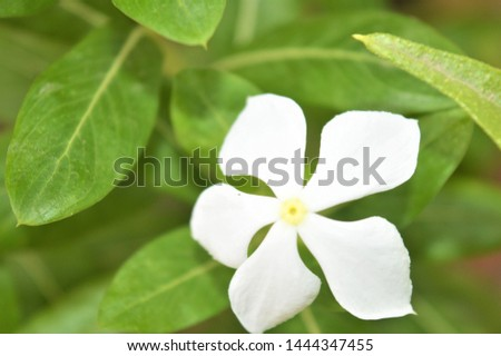 Catharanthus roseus,commonly known as the Madagascar periwinkle, rose periwinkle, or rosy periwinkle. It is an ornamental and medicinal plant. It is also known as Nayantara in West Bengal & Bangladesh #1444347455