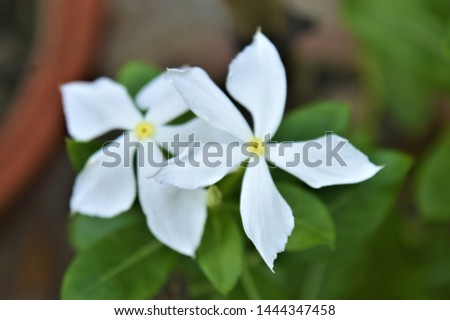Catharanthus roseus,commonly known as the Madagascar periwinkle, rose periwinkle, or rosy periwinkle. It is an ornamental and medicinal plant. It is also known as Nayantara in West Bengal & Bangladesh #1444347458