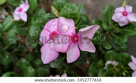 Catharanthus roseus, commonly known as the Madagascar Periwinkle, rose periwinkle, or rosy periwinkle. Madagascar Periwinkle Flowers #1452777656