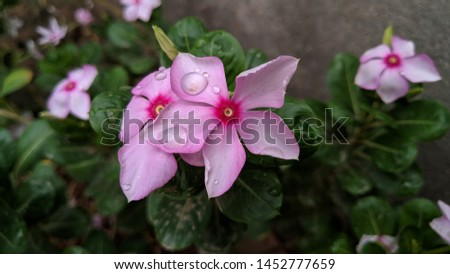 Catharanthus roseus, commonly known as the Madagascar Periwinkle, rose periwinkle, or rosy periwinkle. Madagascar Periwinkle Flowers #1452777659