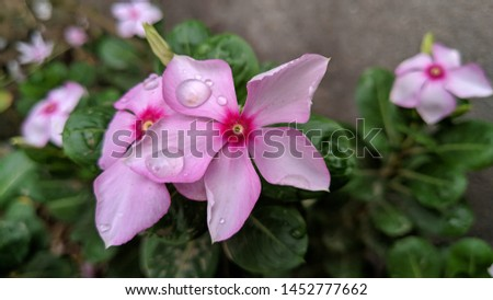 Catharanthus roseus, commonly known as the Madagascar Periwinkle, rose periwinkle, or rosy periwinkle. Madagascar Periwinkle Flowers #1452777662