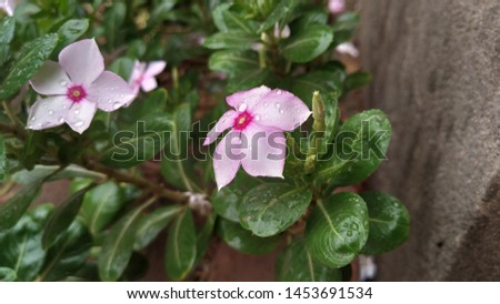 Catharanthus roseus, commonly known as the Madagascar Periwinkle, rose periwinkle, or rosy periwinkle. Madagascar Periwinkle Flowers #1453691534
