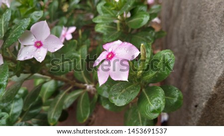 Catharanthus roseus, commonly known as the Madagascar Periwinkle, rose periwinkle, or rosy periwinkle. Madagascar Periwinkle Flowers #1453691537
