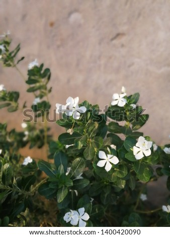 Catharanthus roseus is also known as theMadagascar periwinkle,rose periwinkle, orrosy periwinkle, #1400420090