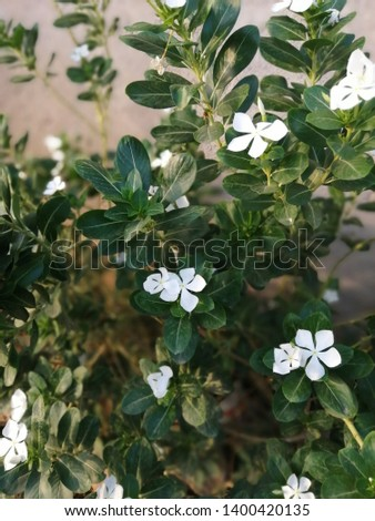 Catharanthus roseus is also known as theMadagascar periwinkle,rose periwinkle, orrosy periwinkle, #1400420135