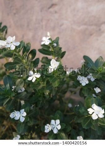 Catharanthus roseus is also known as theMadagascar periwinkle,rose periwinkle, orrosy periwinkle, #1400420156