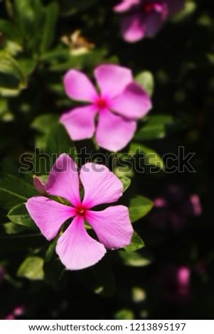 Catharanthus roseus, Madagascar periwinkle,rose periwinkle,rosy periwinkle, cape periwinkle #1213895197