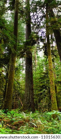 Cathedral Grove, old-growth forest Vancouver Island, British Columbia Canada - stock photo
