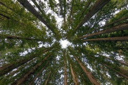 Cathedral Redwoods - Circle of Coast Redwoods. Henry Cowell Redwoods State Park, Santa Cruz County, California, USA.