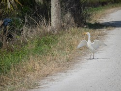 Catle egret standing on road