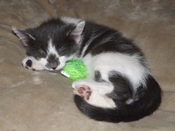 Catnapping Kitten Worn Out From Play