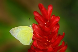 Catopsilia pomona, common  lemon emigrant, yellow butterfly from Asia, Cambodia to Australia. Beautiful insect sitting on the red bloom flower in the green forest. Butterfly in the wild nature.