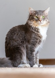 Cats are absolutly amasing. Ashford is a medium haired gray cat with a white belly, green eyes, and a fluffy tail.