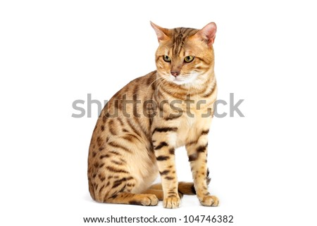 Cats  Bengal breed. Isolated on white background.
