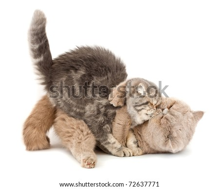 Cats kissing  each other's arms on a white background.