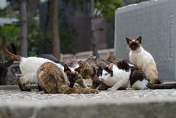 cats meeting. megishima. japan