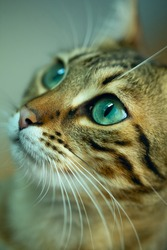 Cats Portrait and big green eyes, bengal and siam cat
