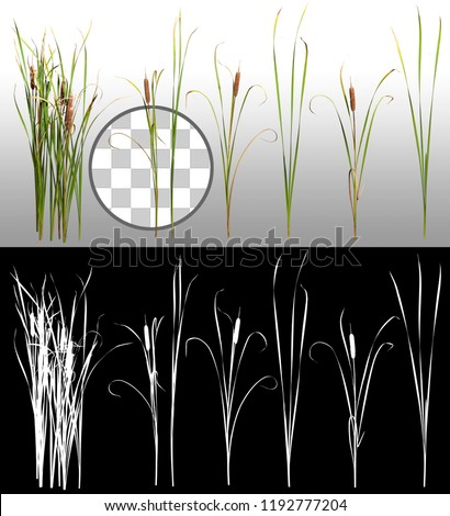 Cattail and reed plant isolated on a transparent background via an alpha channel of great precision. Distaff and bulrush. High quality mask without unwanted edge. High Res for professional composition #1192777204