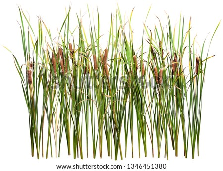 Cattail and reed plant isolated on white background  Сток-фото ©