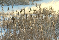 Cattail lit by the sun against the background of a snow-covered pond. Eco natural background for festive winter and christmas cards and backdrops. Stock photo with empty space for text and design.