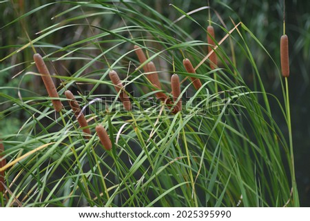 Cattail (Typha latifolia) growing on the water's edge. Typhaceae perennial emergent plant.  Foto stock ©