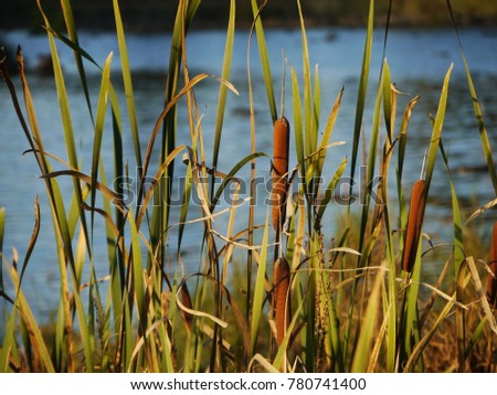 Cattails and Reeds next to the river #780741400