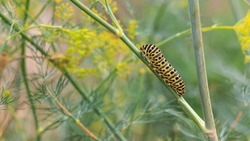 Catterpillar of Papilio machaon nearing its final days as a caterpillar. Crawling on a fennel.