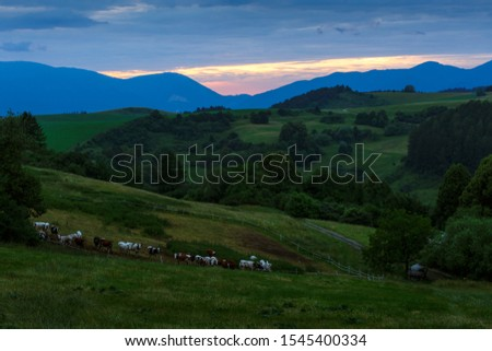 Cattle and pastures in Turiec region, central Slovakia.