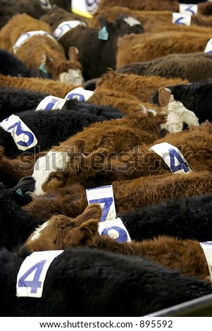 Cattle at a Team Penning competition - can also represent being treated like just another number in business, finances, and/or life.