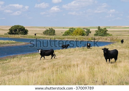Cattle at a watering hole near Akaska, South Dakota - stock photo
