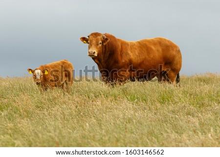 Cattle (Bos taurus) grazing on field, Scotland, United Kingdom. Stockfoto ©