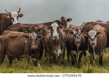 Cattle breed hereford and ostensible breeding for milk production and beef  Photo stock ©
