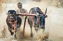 Cattle (Bullock Race) From Chithali Palakkad Kerala India