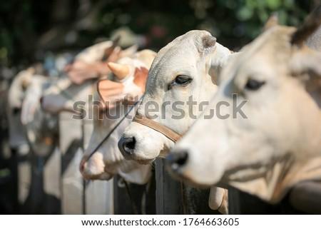 Cattle,cows ( sapi ) in animal markets to prepare sacrifices on Eid al-Adha.
