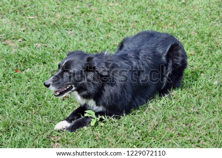 Cattle dog kelpie, border collie to protect sheep cattle on the grass in Australia