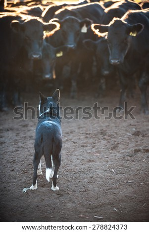 Cattle dog with cattle in the morning light #278824373