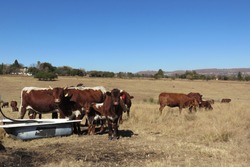 Cattle drinking water from a white bath surrounded by a golden grass field landscape under a blue sky