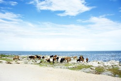 Cattle Drinking Water in Lake Malawi, Africa